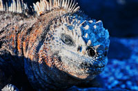 iguana_s