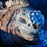 iguana_sq